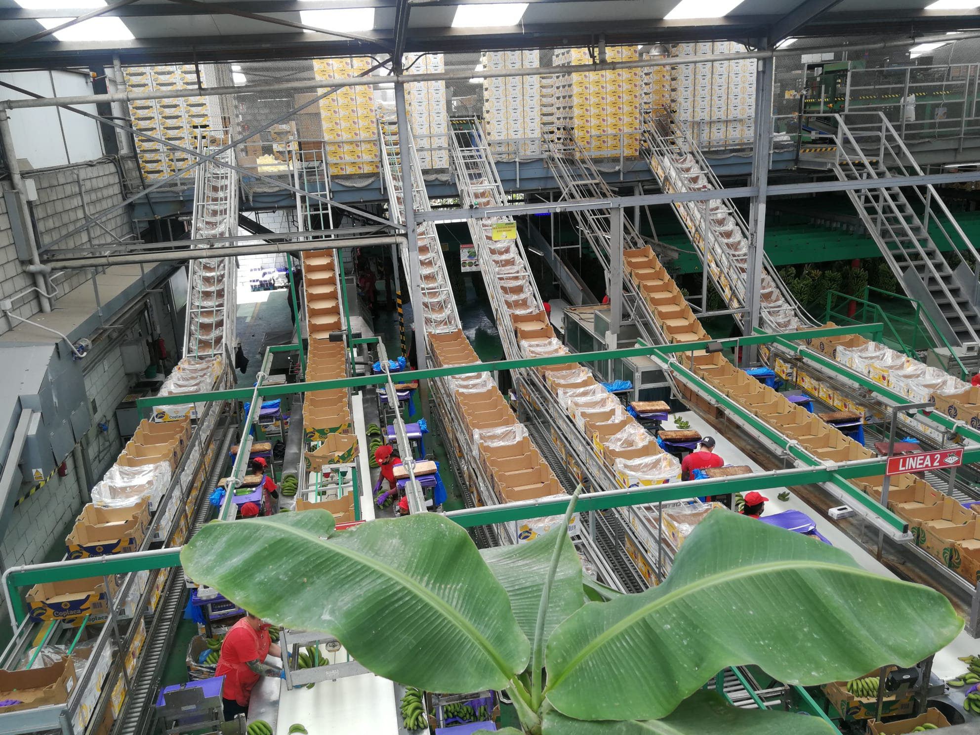 Empaquetado de plátanos de Canarias Fast Armeñime