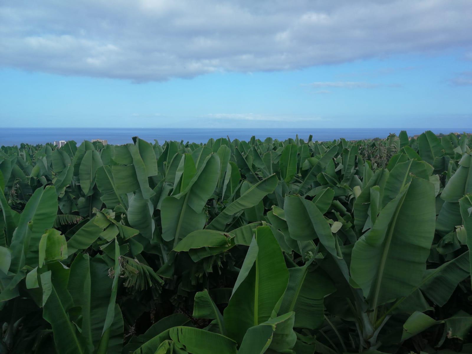 Cultivo Plátano de Cnarias Fast