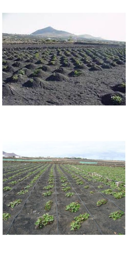 batata-cultivo